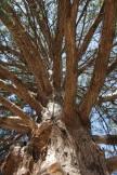 Looking up into the cedar tree.