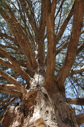 Looking up into the cedar tree.