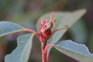 Red buds starting on the photinia.