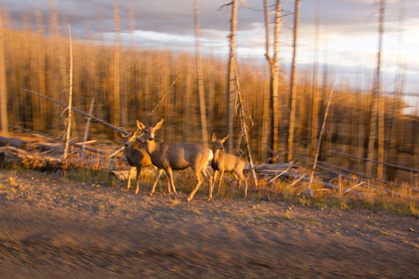 Deer that just crossed the road near the east entrance to Yellowstone.