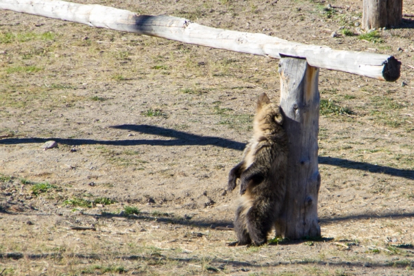Driving through Yellowstone National Park there was a mama grizzly bear and her cub beside the road. I had a pretty good view and as they were walking by the posts they each stopped to scratch their backs.